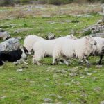 Caherconnell Stone Fort & Sheepdog Experience